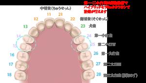 歯の名称_01